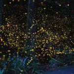 La danza delle lucciole